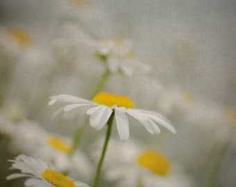 Vertical Flower Photograph, Gray White and Yellow Wall Art, Daisy Picture, Nature Photography