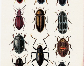 1902  BEETLES Original antique Beetle print. Coleopters, entomology.