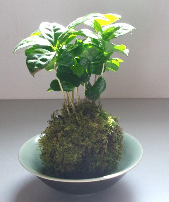 kokedama caf ier plante d 39 appartement vert. Black Bedroom Furniture Sets. Home Design Ideas