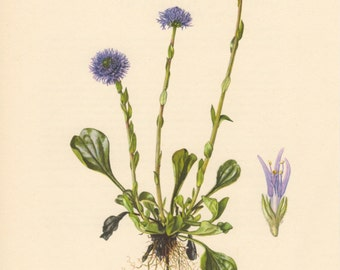 1955 Globe Daisies, Antique Botanical Print, Vintage Lithograph, Globularia elongata, Plantaginaceae, Botany, Purple, Flowers, Garden