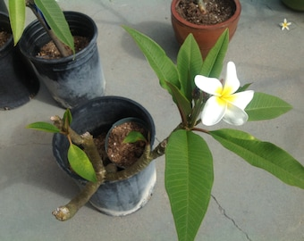 """White CUTTINGS Plumeria Frangipani 7- 13"""" Long with White Flowers -- Includes growing guidelines, Hawaiian Floowering Plant"""