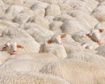 Sheep photography, grazing Sheep in Tuscany. White, rose. Fine Art Nature photography animal photography, sweet nursery decor.