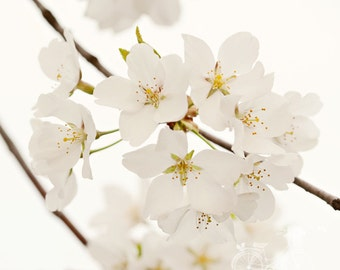 Fine Art Photograph, White Cherry Blossom Flowers, Macro Photo, Cream, Shabby Chic, Flower Photo, Cottage Art, Home Decor, Square 8x8 Print