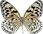 "Real Idea leucone, ""Ricepaper"" Butterfly, spread for your project or laminated or unmounted"