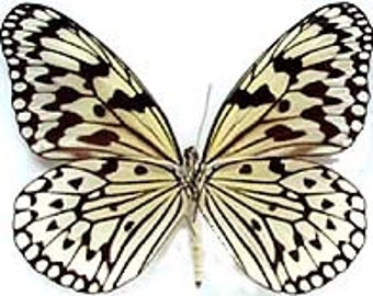 """Real Idea leucone, """"Ricepaper"""" Butterfly, spread for your project or laminated or unmounted"""
