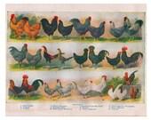 vintage chicken illustration, a printable digital image no. 19
