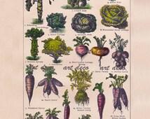 botanical print of vegetables, digital image no. 645