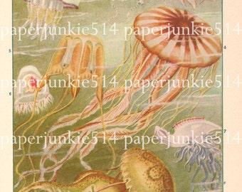 Vintage Book Plate - Jellyfish / Invertebrates of the Ocean