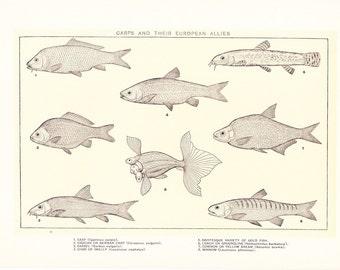 1903 Fish Print - Carp - Vintage Antique Home Decor Book Plate Art Illustration for Framing 100 Years Old