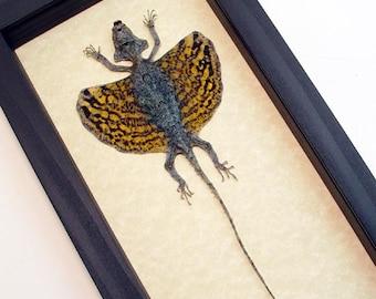 Real Framed Draco Sp-Mottled Flying Lizard Shadowbox Display R1303