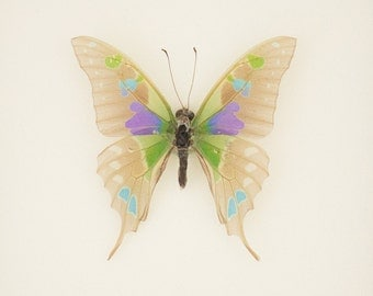 Real Framed Butterfly Skeleton Graphium weiskei Oddity Display