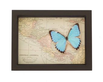 Real blue morpho with framed vintage map
