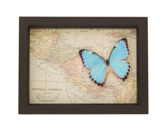 Real blue morpho with framed vintage map