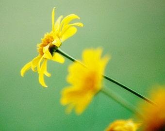 Wild Daisy - Yellow Daisy - Yellow and Green - Nature - Fine Art Photograph by Kelly Warren