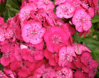 BULK SEEDS: Sweet William Seeds (Dianthus barbatus)