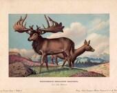 1902 dinosaur rare antique print - megaceros giganteus