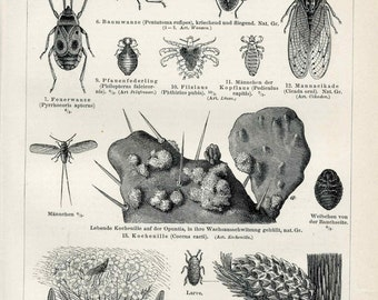 c. 1894 INSECTS ANTIQUE LITHOGRAPH -  original antique print - entomology bugs insect