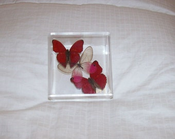 Real Clearwing Center Butterfly with Two Vibrant Blood Red Accents