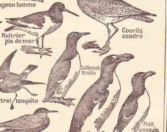 Beautiful Antique Print french book Page 1920s Engraved iIlustrations Sea Birds paper projects scrapbooking, collage