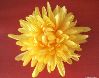 Full 5.5 Canary Yellow Spider Mum Hair Clip