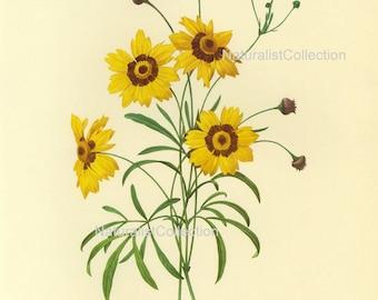 BOTANICAL PRINT 1981 Redoute Art Print 24 Beautiful Yellow Coreopsis Large Flower Garden Nature to Frame Home Decor