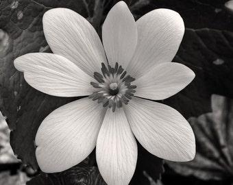 bloodroot blossom, 8x10 fine art black & white photograph, nature