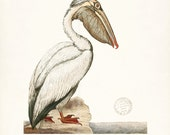 Coastal Decor Sea Bird Natural History Art Print - White Pelican 8x10