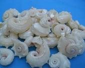 pearl delphinula seashells BEACH NAUTICAL DECOR crafts wedding shells supplies