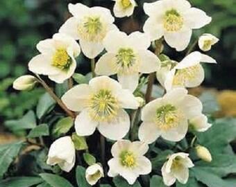 10 Christmas Rose Seeds-1088