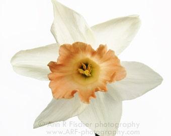Big Peachy Daffodil, Big Square Canvas Gallery Wrap, Fine Art Photography, Spring Flower Photo, White Decor