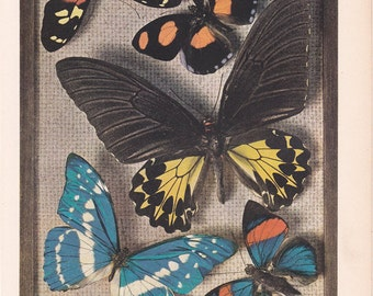 Butterfly Specimen box, a  print from a 1937 American Encyclopedia.