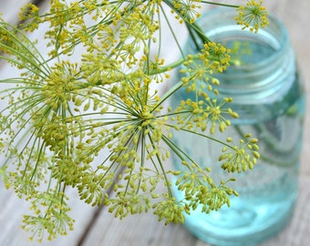 Dukat Dill Seeds, Herb Garden Seeds, Easy to Grow Dill, Great for Container Gardens, Butterfly Host Plant, Fresh Seeds From This Year's Crop