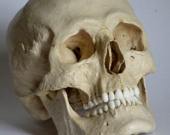 Male Human Skull Replica
