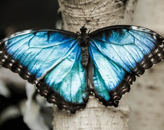 Black And White With Color Blue Morph Butterfly Resting On A Tree Trunk Print