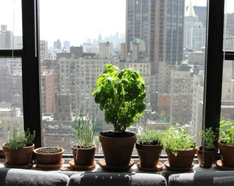 Windowsill Herb Garden Collection, six spices, 1000 seeds, easy indoors, great hostess gift, Basil, Sage, Parsley, Thyme, Cilantro and more