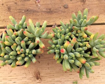 Succulent Plant Sedum Pachyphyllum