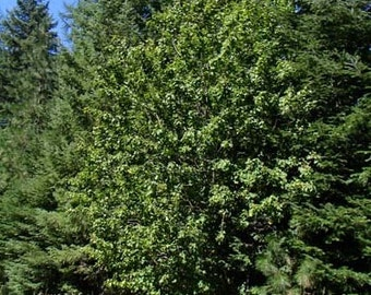 1000 Rocky Mountain Maple Tree Seeds, Acer Glabrum