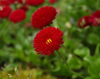 Daisy English Red Pomponette, 5 Seeds