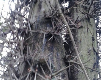 Hawthorn thorns, Hoodoo, Metaphysical, Voodoo, Hexing, Protection,