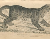 SALE, Antique,  Original, 1800's,  Book Plate, Authentic Print, Jardine, Natural History Library, Vol XVI Mammalia Lions Tigers Tree Tiger