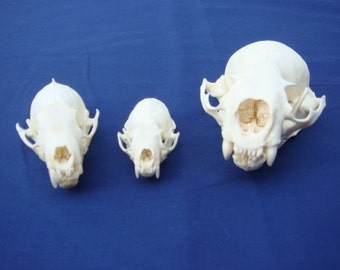 3 Real Skulls, 1 Mink, 1 Marten and 1 Otter  bone,parts
