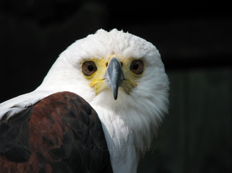 African fish eagle digital fish eating bird fish eagle for Fish eating eagle