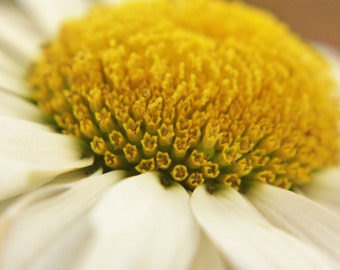 Daisy, flower, macro, instant download