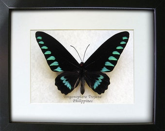 RARE Palawan Birdwing Trogonoptera Trojana Real Butterfly In Shadowbox