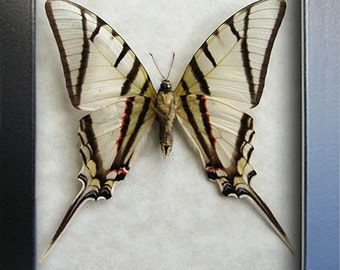 Telesilaus Kite Swallowtail Real Butterflies From Peru In Shadowbox