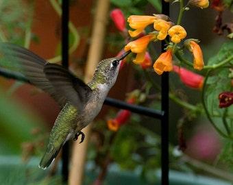 Chilean Glory Vine (Eccremocarpus Scaber Mix) the perfect flowering plant for hummingbirds !