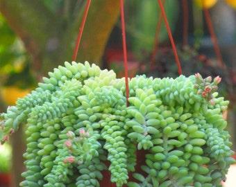 Sedum Donkey Tail Succulent Plant