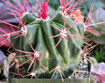 Ferocactus Pilosus Cactus Plant