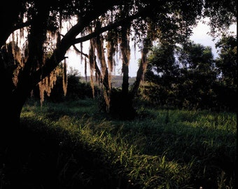Coupon Code 1STPURCHASE, Landscape photography, Florida, Evening, Old Oak, Spanish Moss, Trees, Color, 8x8 Print, Home Decor