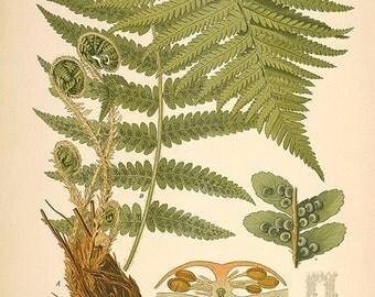 Fern art antique fern print botanical art prints Vintage prints garden wall art home decor wall art antique wall art Victorian art plant art